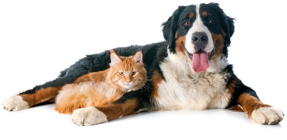 Berner Sennenhund mit Katze, Hundefutter von Cooschel, Tiernahrung von Cooschel